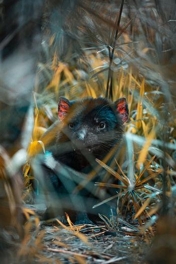 Close-up of tasmanian devil looking away