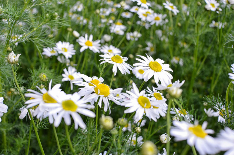 Flowering Plant Flower Plant Freshness Fragility Vulnerability  Growth Beauty In Nature Petal Yellow Field Nature Land Daisy Inflorescence Flower Head Selective Focus No People Close-up Day Outdoors Pollen Daisy