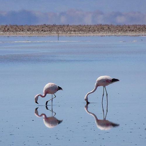 Bingo, Flamingo! Salaratacama Desert Flamingo Reflection Animal Water Instamood Chile Discoversouthamerica Double Travelstroke Pink Vscocam VSCO Nature Natur Ig_europe Wanderlust This Is Latin America