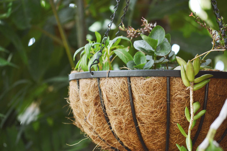 Close-up Day Freshness Growth Healthy Eating Nature No People Outdoors Succulents Hanging Pot Plant Tropical Drought Hardy Tolerant Basket