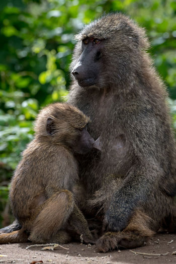 Nature Tanzania Travel Africa Animal Animal Family Animal Wildlife Animals In The Wild Baboon Care Day Focus On Foreground Group Of Animals Looking Mammal Monkey Nature No People Olive Baboon Outdoors Primate Safari Sitting Togetherness Two Animals Vertebrate Wildlife Young Animal