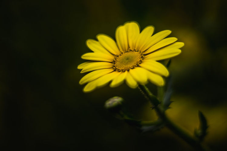 Glow Beauty In Nature Black Background Close-up Day Flower Flower Head Flowers Fragility Freshness Growth Macro Nature Nature No People Outdoors Petal Yellow