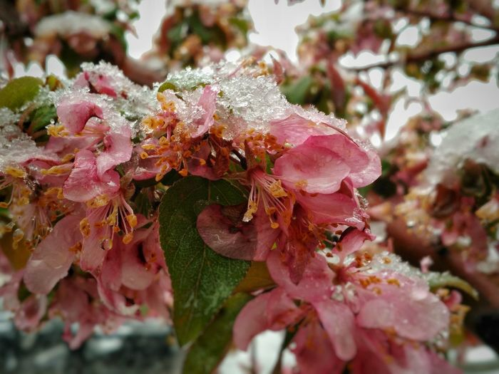 Crabapple Crabapple Blossoms Blossoms Under Snow Snow ❄ Petal Blooms Beauty In Nature Cellphy Cellphone Photography Spring Flowers Nature Flower Leaves And Flowers Plant Flowers