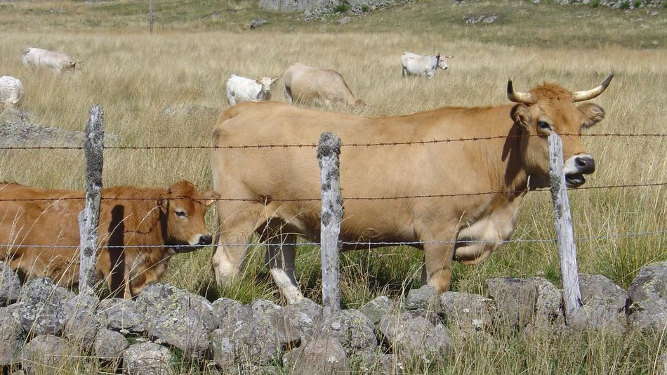 Vaches race Aubrac Nature Photography Animal Themes Mammal Domestic Animals Young Animal Day Nature Beauty In Nature Nature Nature_collection Animals Animal Rural Scene Rural Lozère  Cow Cows Landscape Country Countryside Vache Aveyron Aubrac Au Printemps