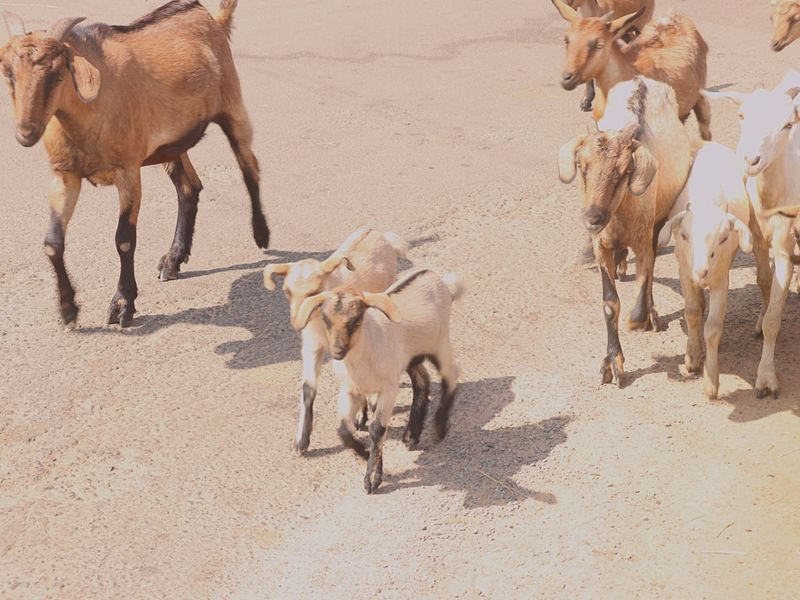 Animal Themes Group Of Animals Mammal Animal Domestic Animals Animal Wildlife Animals In The Wild Camel No People Day Shadow High Angle View Land Sunlight Vertebrate Nature Domestic Young Animal Pets Sand