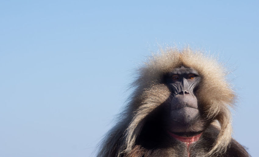 Close-up of a monkey against blue sky