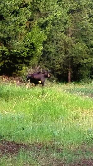 Moose i seen