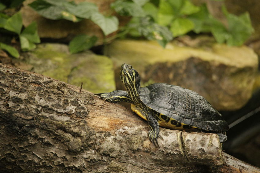 Turtles laying in the sun. Animals In The Wild Trachemys Scripta Elegans Animal Animal Photography Animal Themes Animal Wildlife Animal_collection Animalia Animals Animals In The Wild Chordata Day Nature No People One Animal Outdoors Pets Red-eared Slider Reptile Reptilia