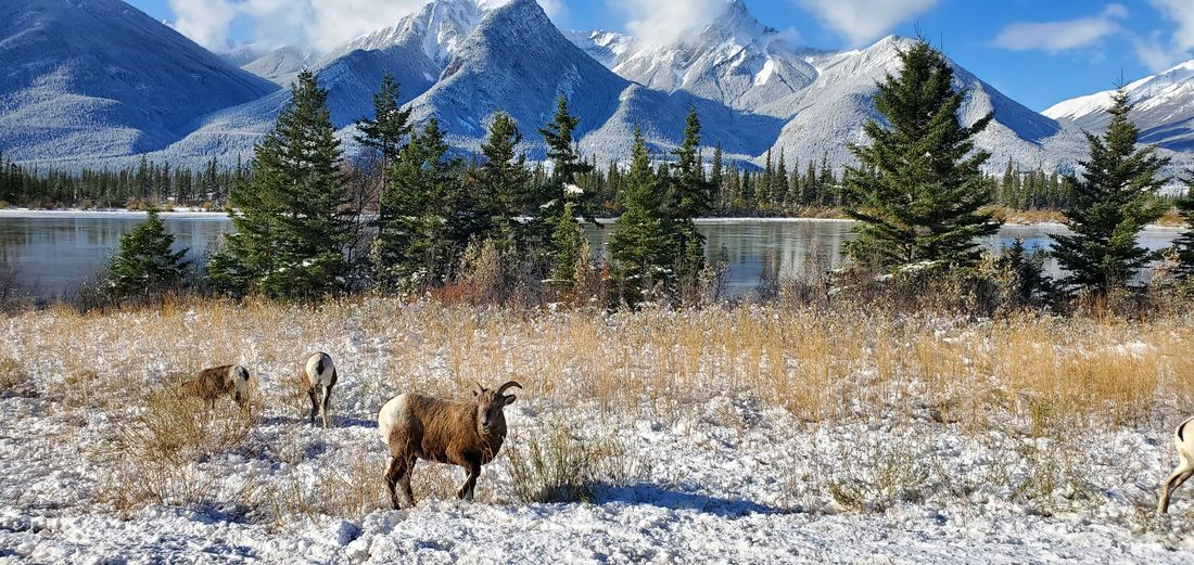 View of sheep on snow covered mountain