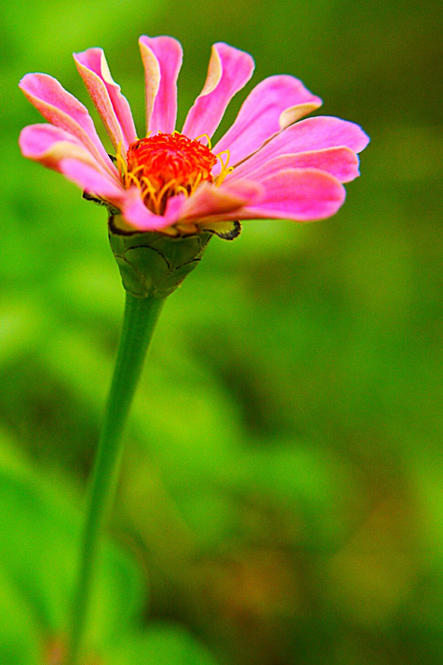 flower, freshness, fragility, petal, flower head, growth, close-up, focus on foreground, beauty in nature, stem, nature, pink color, plant, single flower, blooming, selective focus, in bloom, bud, blossom, outdoors
