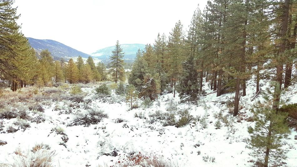 Tree Outdoors Snow ❄ Winter Pine Mountain! Southern California Beauty In Nature