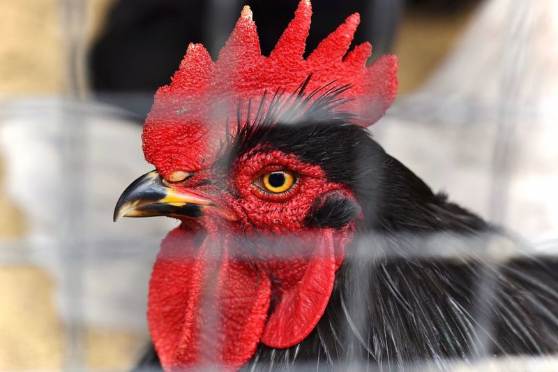 Close-up of rooster in farm seen through fence