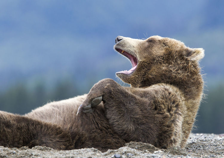 Close-up of grizzly bear yawning