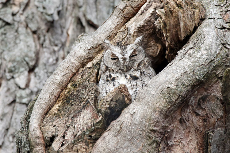 Eastern Screech Owl Animal Themes Bark Branch Close-up Day EyeEm Nature Lover Gray Morph Knotted Wood Leopard Nature No People Outdoors Plant Bark Screech Owl Textured  Tree Tree Trunk