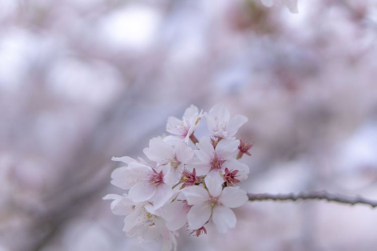 Flowering Plant Flower Fragility Plant Beauty In Nature Freshness Springtime Blossom Cherry Blossom Growth Tree Close-up Nature No People Petal White Color Day Pink Color Cherry Tree Spring Flower Head Sakura