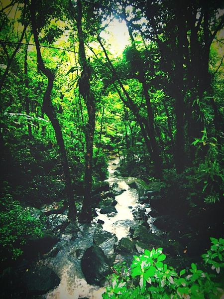 El Yunque a. Tropical Rainforesthere in Puerto Rico. Tropical Paradise Tropical Climate Tropical Dream Nature Green Color Silence Of Nature Tourist Attraction  Capture The Moment Green Green Green!  Check This Out Hidden Gem Nature Photography Forest Photography Stream Nature_collection Natureporn Natures Colors