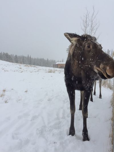 Horse on snow covered land