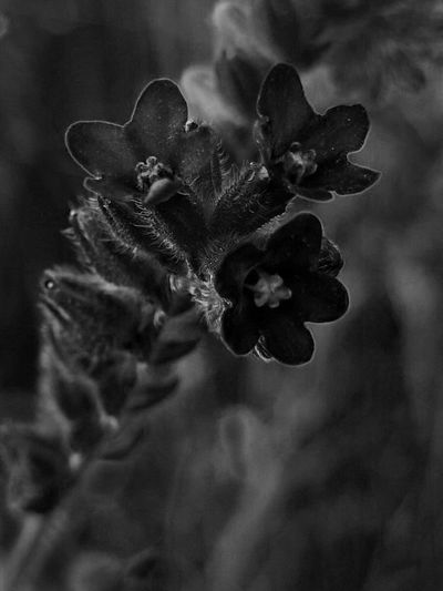 Black & White Beauty In Nature Blackandwhite Botany Close-up darkness and light Day Flower Flower Head Flowering Plant Focus On Foreground Fragility Freshness Growth Inflorescence Monochrome monochrome photography Nature No People Outdoors Petal Plant Selective Focus Vulnerability