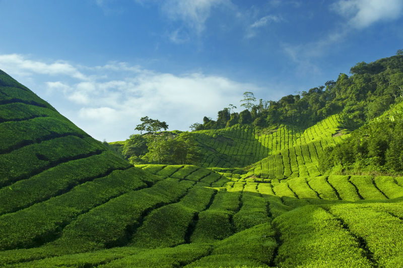 Agriculture Beauty In Nature Cloud - Sky Crop  Environment Farm Field Green Color Growth Land Landscape Nature No People Outdoors Plant Plantation Rural Scene Scenics - Nature Sky Tea Crop Tea Leaves Tranquil Scene Tranquility Tree