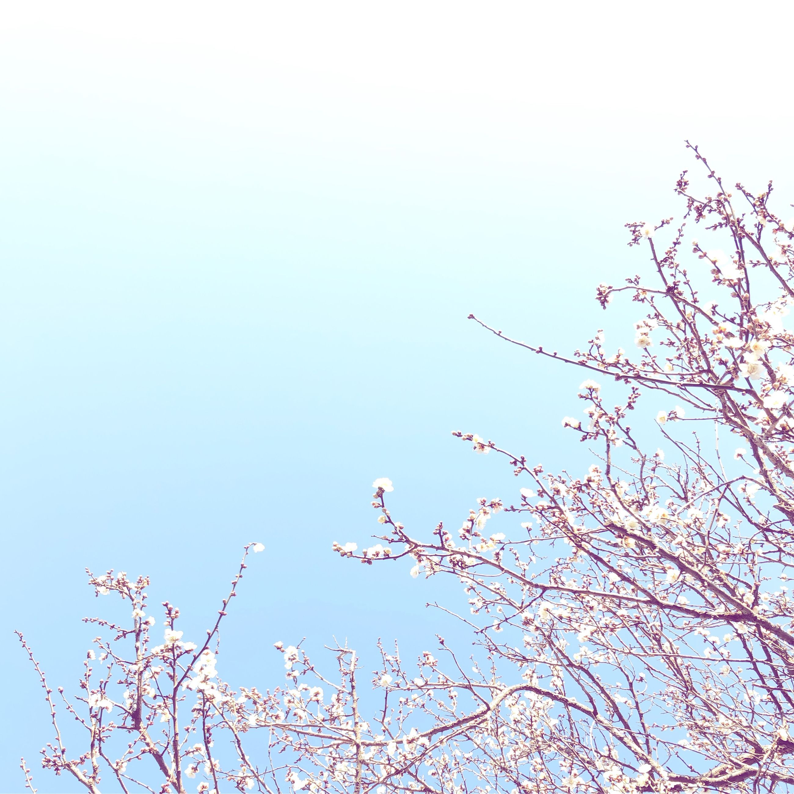 plant, tree, sky, branch, beauty in nature, clear sky, low angle view, nature, bird, growth, flower, flowering plant, vertebrate, day, animal wildlife, animals in the wild, one animal, animal, animal themes, no people, springtime, cherry blossom, outdoors, cherry tree