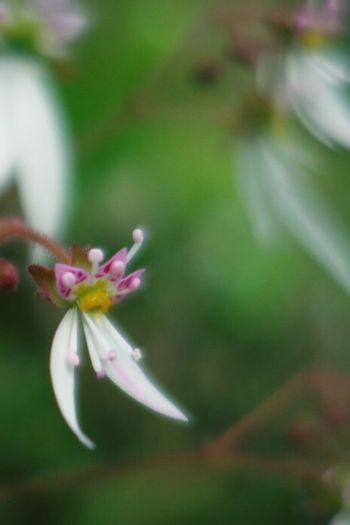 ユキノシタ Plants Flower Nature_collection Flowers Nature