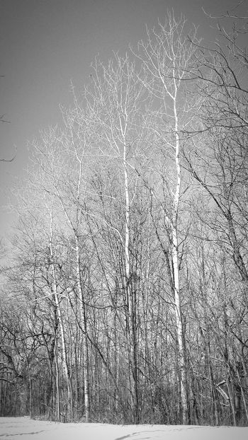 Nature A Walk In The Woods Winter Woods Tree And Sky Cottonwood Trees Black And White Nature Lover Winter Forest