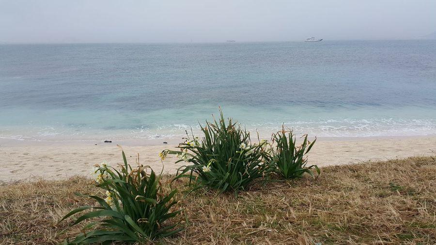 daffodil, beach, Blue Ocean, Jeju Island, South Korea