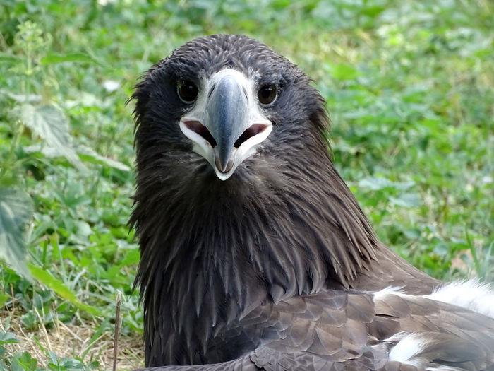 Eagle Eagle - Bird Bird Photography Bird Of Prey Bird Portrait Beak Confined Space Looking At Camera Closing Perching Black Color