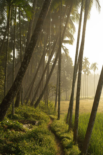 Morning shot of Village in Kerala, South India Tree Plant Land Tranquility Trunk Tree Trunk Forest Beauty In Nature Tranquil Scene Nature No People Day Growth Non-urban Scene Grass Sunlight Environment Outdoors Green Color WoodLand Kerala Calicut Ijas Muhammed Photography Kuttiady Coconut Palm Tree