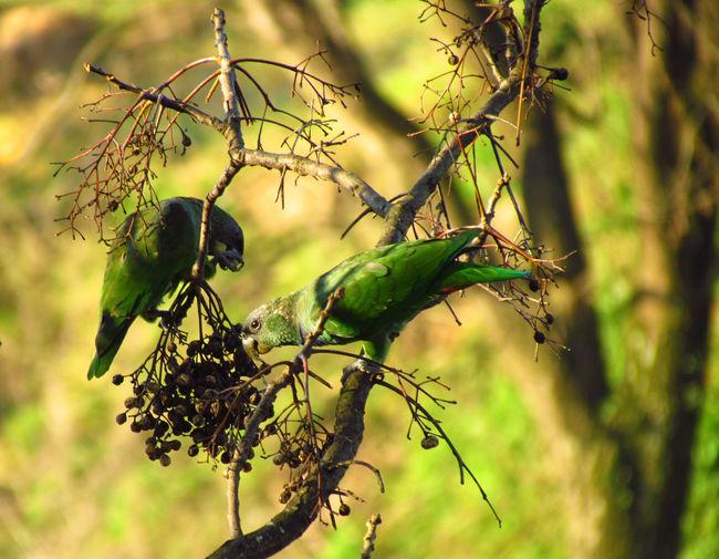 Maitaca-verde (Pionus maximiliani) Bird Bird Photography Birds Birds_collection Birdwatching Branches Green Macau Maitaca Maritaca Nature Nature_collection Parrot Parrots