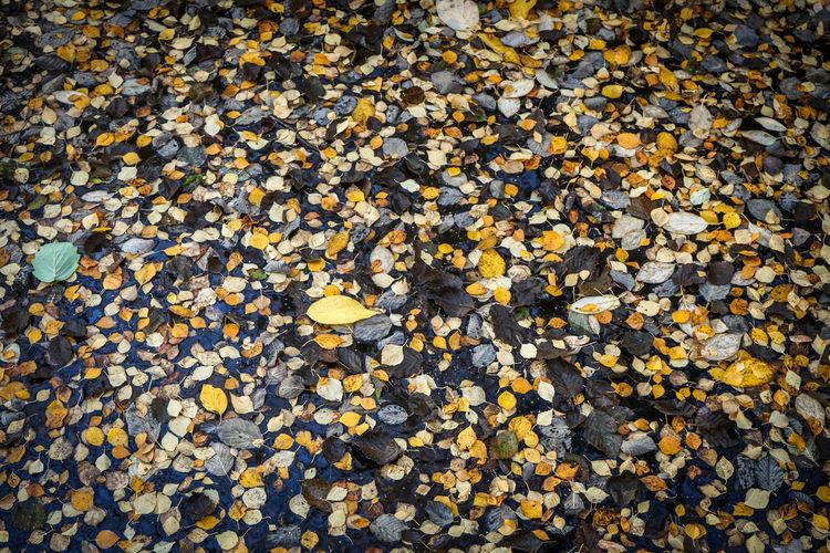 Season of the Fallen. https://www.instagram.com/johnmaren/ https://www.photobymaren.com https://plus.google.com/u/0/+JohanMarengard https://www.flickr.com/photos/115763201@N02/ Leafes Colors Of Autumn Autumn Leaves The Fallen Autumn Fallen Leaves Out In The Woods Colorful