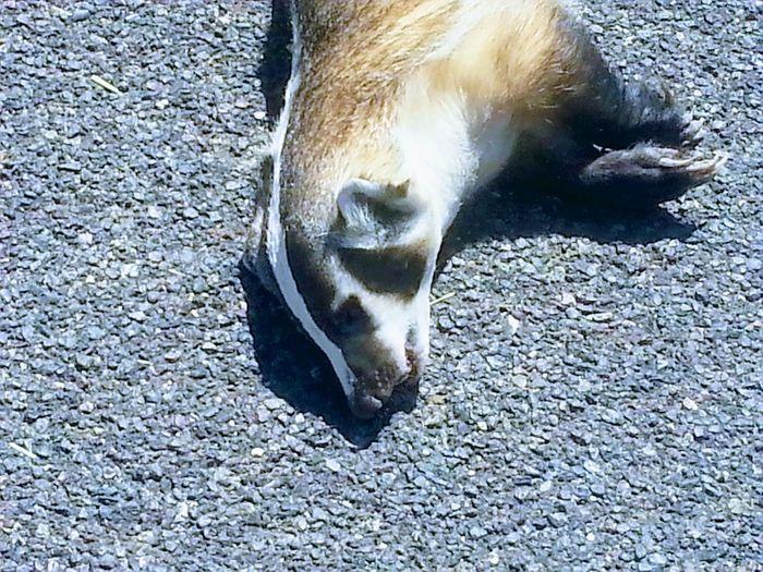 Badger Roadkill
