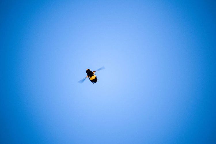 Beauty In Nature Bee Blue Buzzing Buzzing Around Buzzing Bee Clear Sky Copy Space Day Flying Low Angle View Mid-air Nature No People Outdoors Spread Wings Paint The Town Yellow