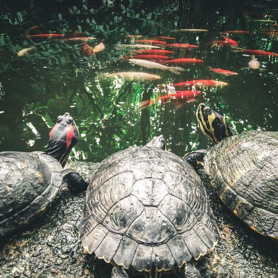 I like turtles. Animal Themes Animal Wildlife Wildlife No People Reptile Water Tortoise Shell Nature Turtle Turtles Fish Pond Goldfish