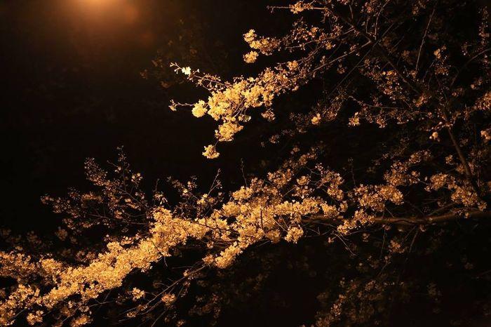 Tokyo Japan Sakura Nightview Cherry Blossoms Spring Flowers Trees Canon5Dmk3