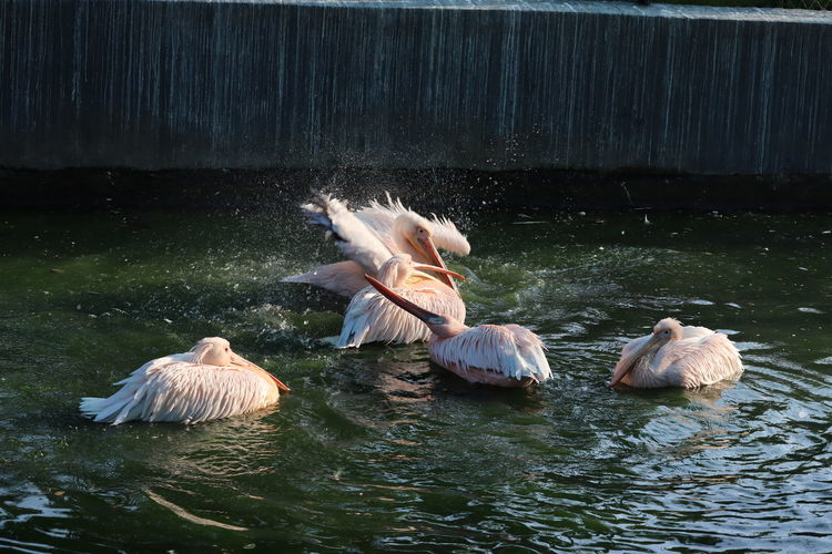 Pelicans swimming in lake
