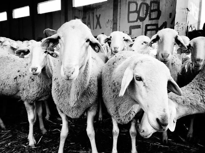 269 Go Vegan Explotación Animal Animal Themes Livestock Day Outdoors Mammal No People