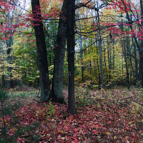 Autumn Outdoors Change Nature Autumn Leaves Autumn Colors Red Red Leaves Falling Leaves Tree Trees Woods Woods And Color No People Beauty In Nature The Great Outdoors Nature Fall Fall Beauty Michigan Traverse City