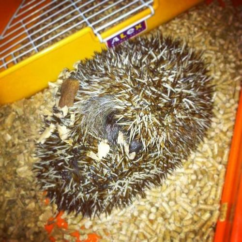 刺猬 Hedgehog