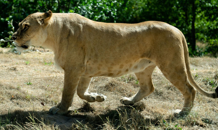 Lioness at Givskud Zoo. Animal Animal Themes Day Female Animal Lioness Mammal No People Side View