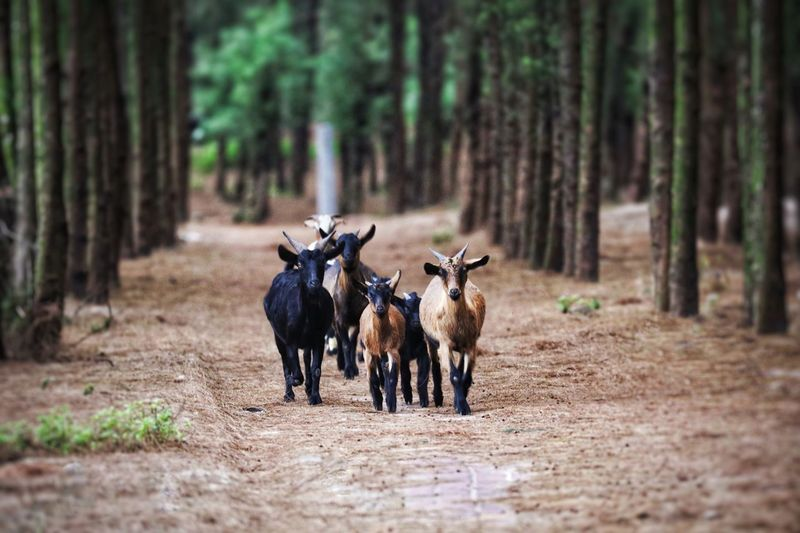 Goats walking on land in forest