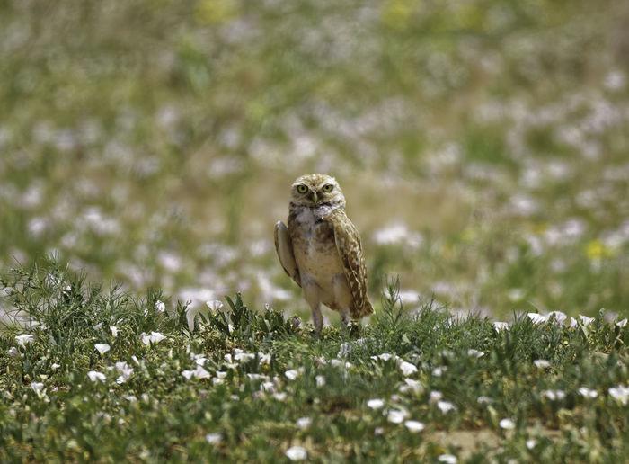 Owl On Grass