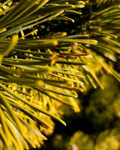 Tree Frond Pine