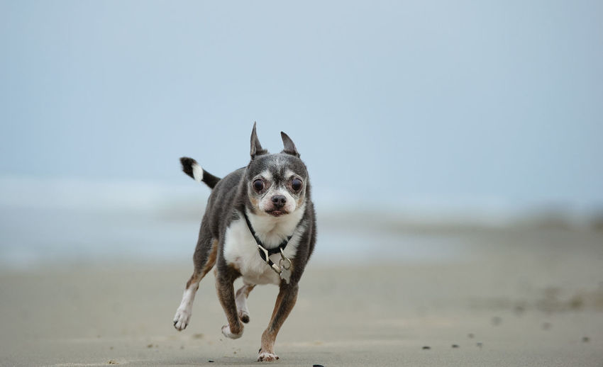 Close-up portrait of dog running at beach