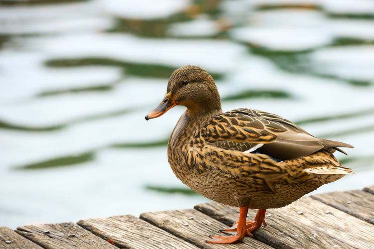 Close-up of duck perching outdoors