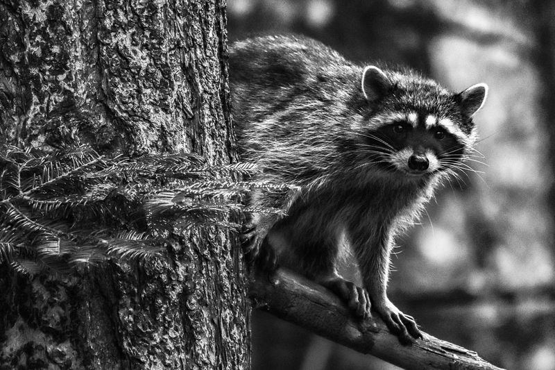 Raccoon One Animal Mammal Animal Themes Animal Domestic Animals No People Domestic Vertebrate Portrait Looking At Camera Animal Wildlife Day Nature Outdoors Focus On Foreground Animals In The Wild Looking