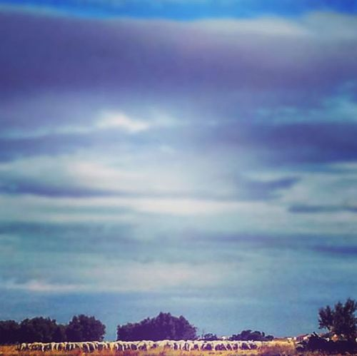UN Buen Dia De Paseo Ovejuno Aunque Sean  Vistas A Lo Lejos Samuelada Ovejas Nubes Tierra Campo Cedillodelcondado Toledo CastillaLaMancha España