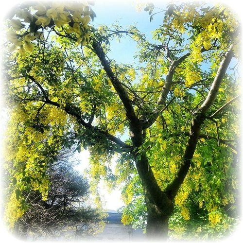 'Beautiful Laburnum' Laburnum Trees Ic_trees Yellow Kirkcaldy Fife Scotland instanaturelover flowers insta_pick instamood instahub insta_shutter instagood tagstagram most_deserving thebestshooter igtube igaddict Igers igdaily igshots igtube photooftheday