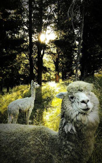 llamitas 💛 Wind Puno Bosque Lindas! Pose For The Camera Pets Dog Close-up Zoo