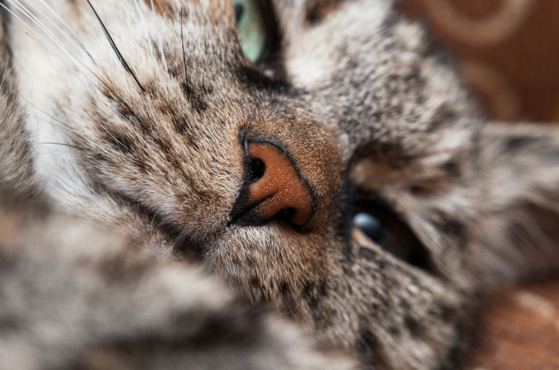 Close up of a domestic cat's nose
